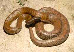 Fortunately, the Inland Taipan is not particularly aggressive and is rarely encountered by humans in the wild.