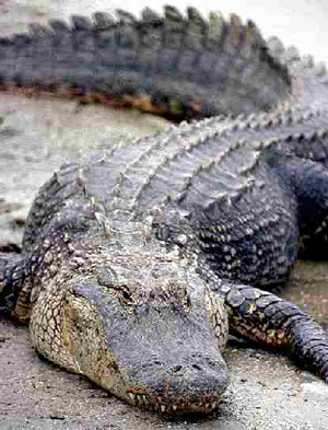 Crocodiles and their relatives live mostly in the warm tropical parts of the world