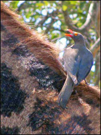 Oxpecker is called the Renostervoël, which means Rhino Bird