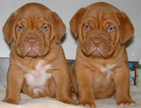 Mastiff Puppies