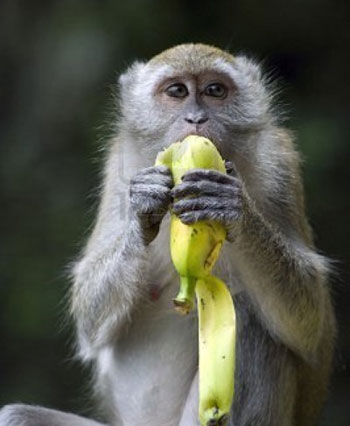 Banana and Monkey