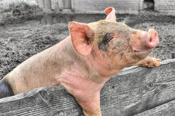Pig On Farm